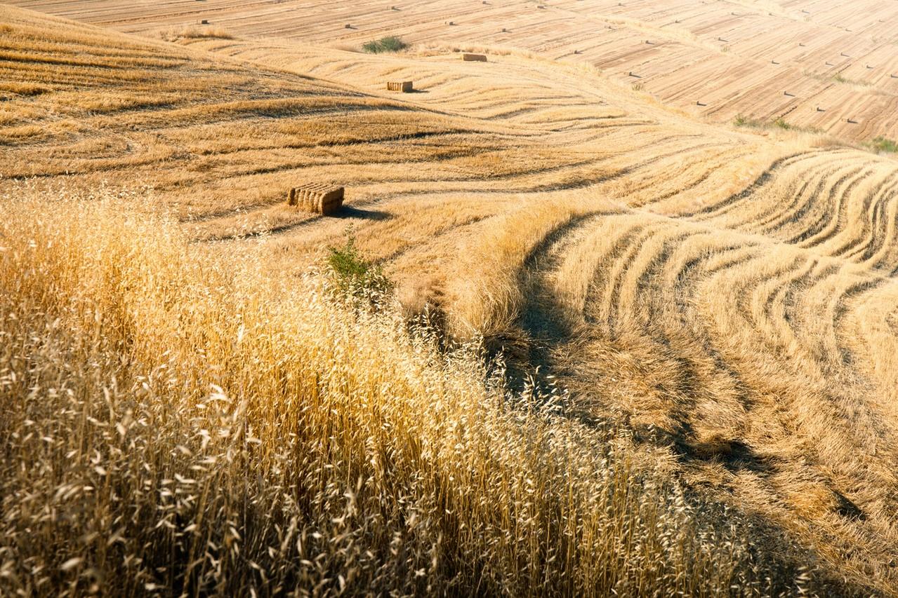 Ścierniska po zbiorach roślin uprawnych