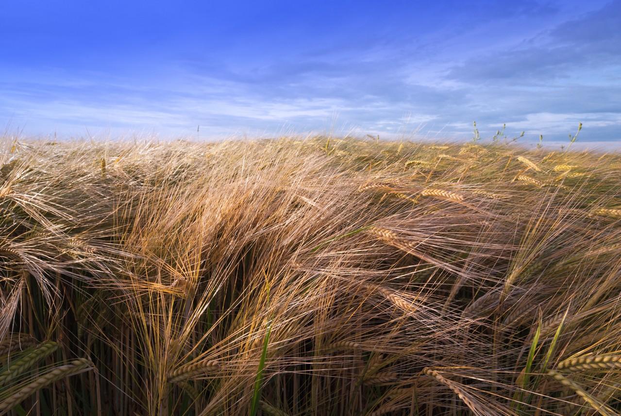Uprawy rolne i chwasty